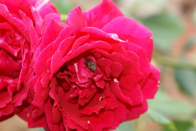 la mosca y la rosa
